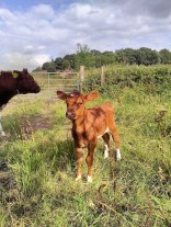 Blossom's new calf and Jill's calf, Jess in Hoo Brook corral