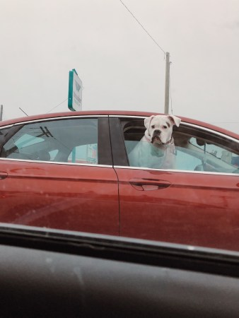 A photo of Dog Out Car Window