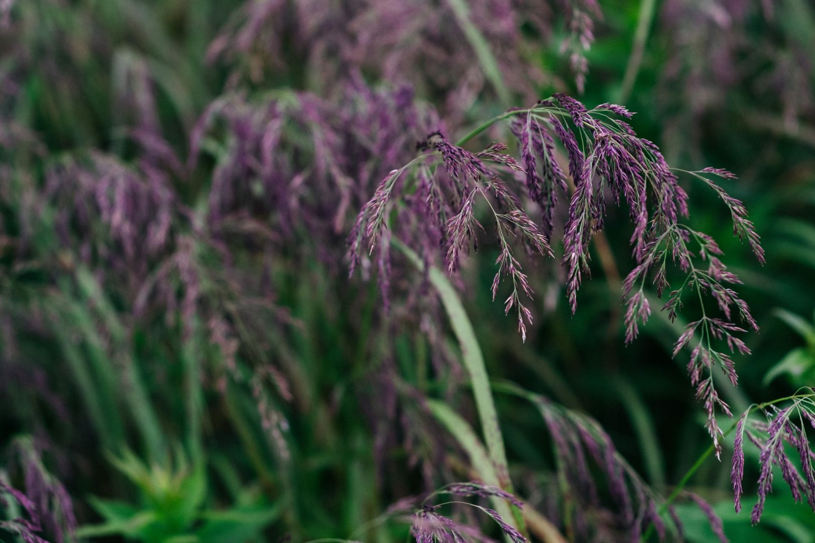A photo depicting Purple Grass
