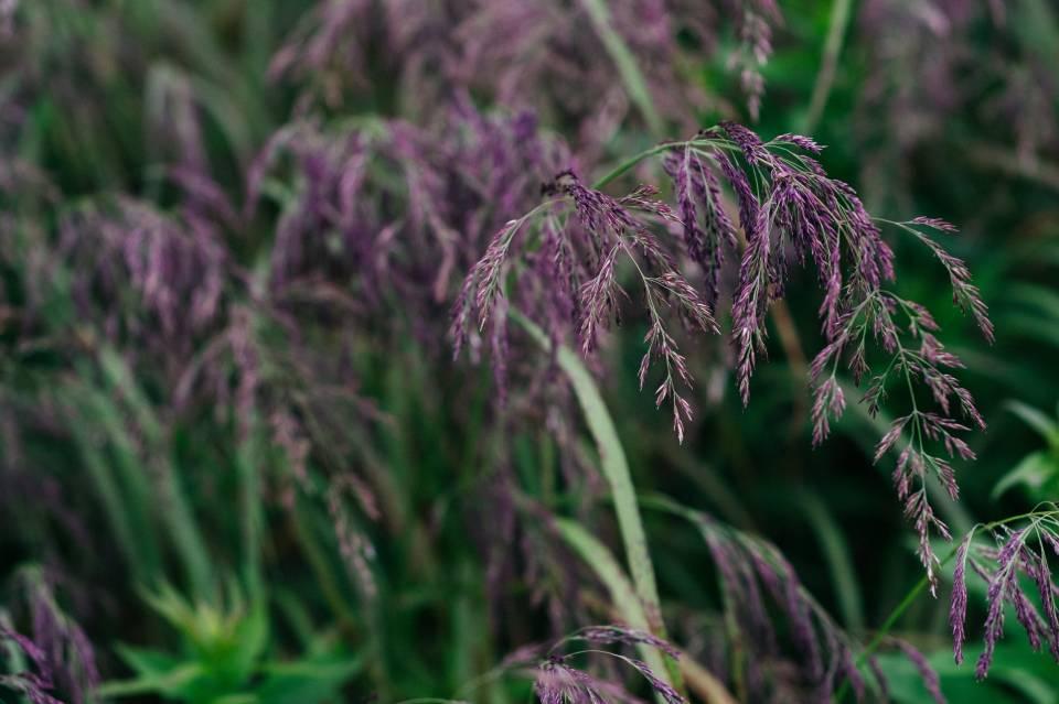 A photo of Purple Grass