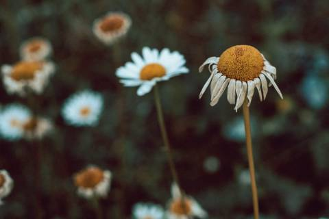 A photo of Dying Daisies