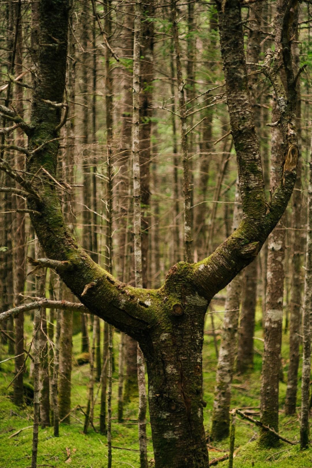 A photo of U Shaped Tree with Moss