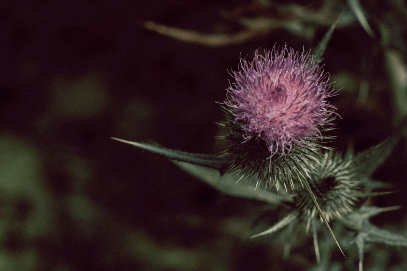 Click thumbnail to see details about photo - Bull Thistle Purple Flower