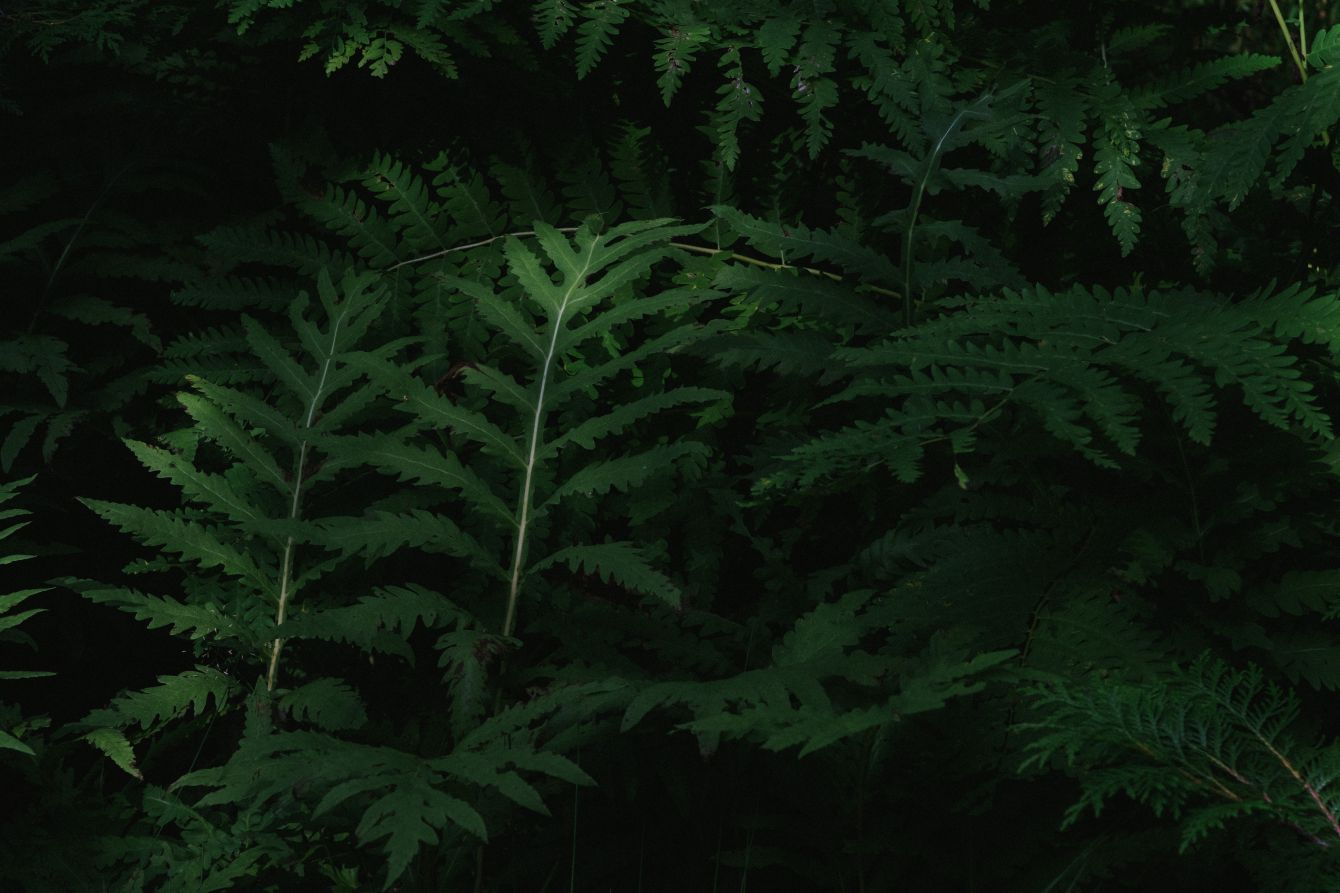 Click thumbnail to see details about photo - Green Fern Light Sliver