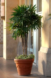 Potted Palm Trees For Patio  Patio Ideas