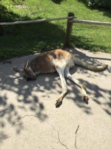 A post-workout kangaroo