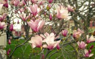 Although shot on an overcast day, the colors of these magnolias are stunning.