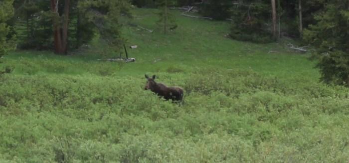 Closeup of a moose near Togwotee Pass, WY