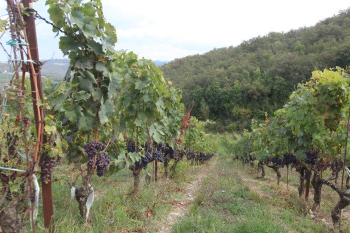 Grapes ready for harvest at Livernano --near Radda in Chianti