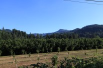 A small vineyard. --Blue River, OR