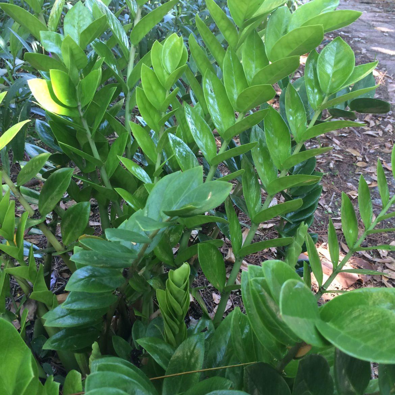 ZiZi Plant