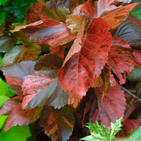 tricolor copperleaf