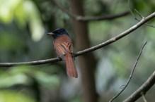 Blyth's Paradise Flycatcher