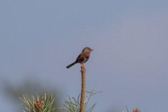A fantastically showy Dartford Warbler displayed beautifully