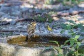 Worm-eating Warbler and Northern Parula