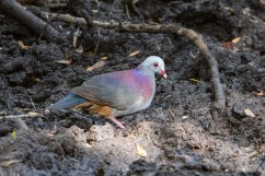 Grey-fronted Quail Dove