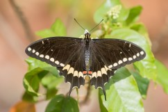 Poey's Swallowtail