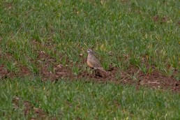 Second time lucky found a male Dotterel, which eventually had a walk around and showed itself off.