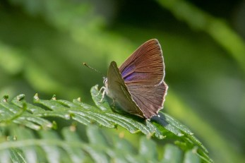 This Hairstreak allows a glimpse of purple