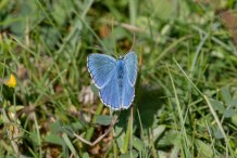 Adonis Blues were all over the place