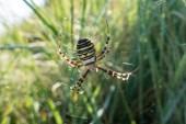 Wasp Spider 180901-002