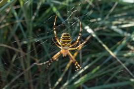 Wasp Spider 180901-003