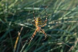 Wasp Spider 180901-004
