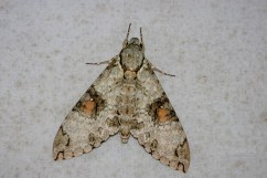 """One of the very few moths at the camp """"moth trap"""""""