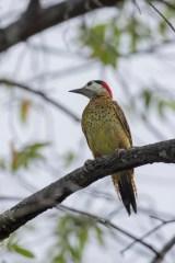 Spot-breasted Woodpecker