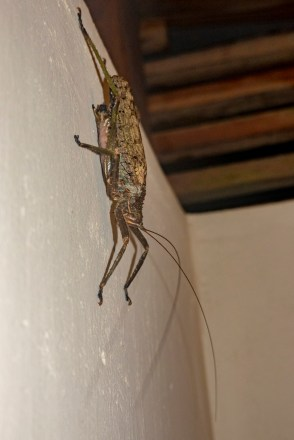 No frog in the shower on this trip, but the bathroom grasshopper is gigantic.