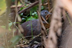 Little Tinamou: years of frustration with this bird finally over.