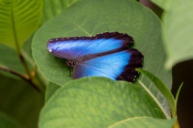Caught napping: the Blue Morpho was resting open, but clamped shut as soon as I moved to get a better angle.
