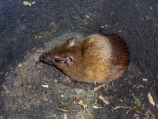 This Tome's Spiny Rat trapped itself looking for food in a bucket