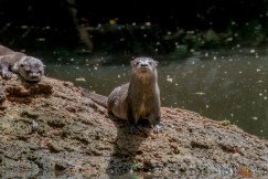 Southern (or Neotropical) River Otter. We've been rumbled.