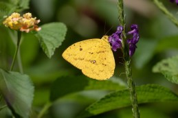 Sulfur Yellow Butterfly