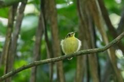 Golden-crowned Spadebill