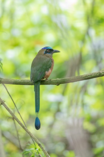 Whooping Motmot. Probably the best-looking of the Motmots here, but they always sit in shadow