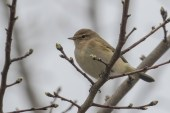 One of several Chiffchaffs at Brooklands