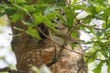 This Wood Warbler was too busy to pose.