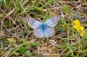 Chalkhill Blue, male
