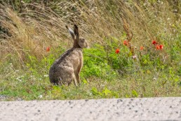 We haven't seen a Hare for a few weeks, so this was a nice surprise.