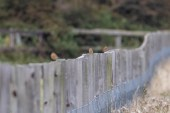 Four of the 6 Whinchats on the gallops