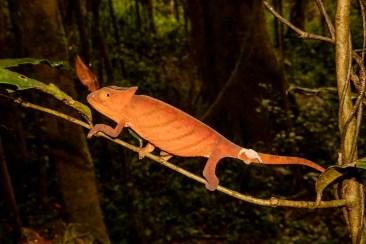 Parsons' Chameleon
