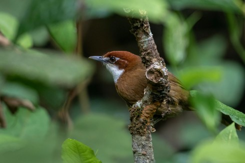 White-throated Oxylabes
