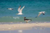 Sooty Gull with Greater and Lesser Crested Terns
