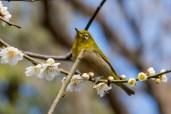 Japanese White-eye enjoying the blossom