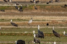 The Demoiselle Crane is much smaller than the others, but is a smart bird.