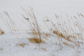 I've never seen Snow Buntings perching on grass before.