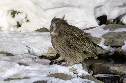 At 0410 in the morning the Blakiston's Fish Owl arrived.