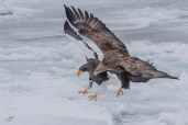 Smaller, faster and smarter, the White-tailed Eagles win most races for a fish.